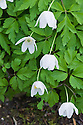 Wood anemone (Anemone nemorosa), mid April.