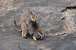 Mareeba rock-wallabies mating (Petrogale mareeba)