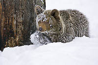 Young Grizzly Bear walking through some snow - CA