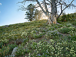 Idaho, North Central, Riggins, Nez Perce National Forest. A hillside of wildflowers in the Seven Devils Mountains in summer.