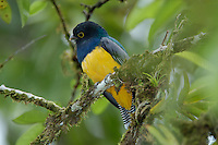 A male Violaceous Trogon, Trogon violaceus, in the rainforest; La Selva, Costa Rica