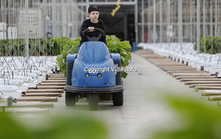 Foto: VidiPhoto<br /> <br /> HUISSEN - Vrienden, bekenden, wat verdwaalde Polen en zoon Ayhan (14) moeten woensdag in de Kerstvakantie hun handen uit de mouwen steken om 85.000 jonge komkommerplantjes te plaatsen bij kwekerij Jakom BV in Huissen bij Arnhem. Vrijwel alle werknemers verblijven nu in hun thuisland en de rest heeft gewoon vakantie, dus is het passen en meten om de 5,6 ha. grote kassen in twee dagen tijd gevuld te krijgen. In vijf weken tijd dragen de planten al weer vrucht en kunnen begin februari de eerste nieuwe komkommers geoogst worden. Na twee goede jaren (gevolgd op zes verloren seizoenen) ziet ook 2017 er vooralsnog florisant uit. De komkommers die nu ge&iuml;mporteerd worden uit Spanje zijn vanwege onduidelijke oorzaak peperduur. Bovendien zijn veel Nederlandse telers gestopt, waardoor er minder geproduceerd wordt.