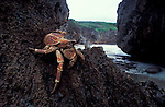 Robber or coconut crabs climbs rocks<br /> Birgus latro