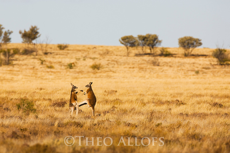 Australia,  NSW, Sturt National Park; young male red kangaroos (Macropus rufus) fighting; the red kangaroo population increased dramatically after the recent rains in the previous 3 years following 8 years of drought