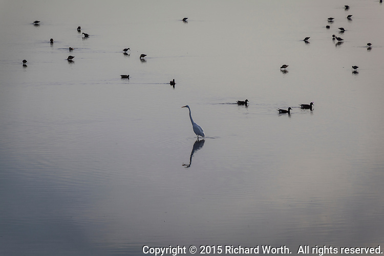 A Great egret and its reflection with birds, mostly Willets, floating in the background and  water shrouded in reflected clouds in the foreground - an afternoon on San Francisco Bay.