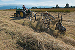 Using an antique rake to turn and pile hay to ready it for baling. Clark family farm, Dungeness-Sequim WA