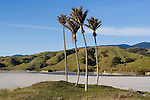 Nikau Palms. Kahurangi coastline. Tasman Region New Zealand.