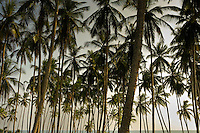 Coconut Palms on the South coat of Sri Lanka.
