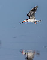 Black Skimmer in flight with reflection in water, image is vertical