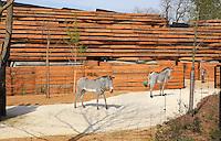 Trois Zebres de Grevy (Equus grevyi) sortent de leur batiment, Zone Sahel Soudan, new Parc Zoologique de Paris, or Zoo de Vincennes, (Zoological Gardens of Paris, also known as Vincennes Zoo), Museum National d'Histoire Naturelle (National Museum of Natural History), 12th arrondissement, Paris, France. Picture by Manuel Cohen