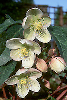 Helleborus x ericsmithii hybrid between H. niger x H. x sternii, formerly known as &quot;H. x nigristern&quot;