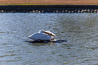 Two White Pelicans are huddled on the idle fountain fixture in the Duck Pond at San Lorenzo Park.