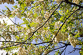 Akazienblüte in Imeretien. Akazienhonig ist eine georgische Spezialität. / Springtime in Georgia with blooming acacia trees.