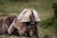Gelada mature male flashing eyebrows aggressive display (Theropithecus gelada), Simien Mountains National Park, Ethiopia.