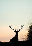 Red Deer, Cervus elaphus, Sierra de Andujar Natural Park, Sierra Morena, Andalucia, Spain, male stag silhouette