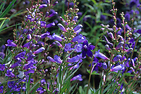 Penstemon heterophyllus 'Blue Bedder'