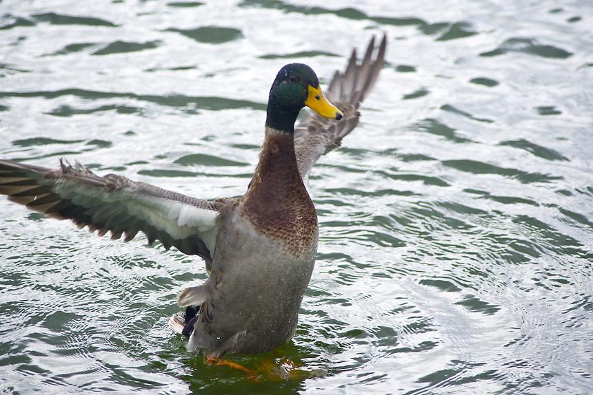 Mallard, Morton Lake, Lakeland, Florida