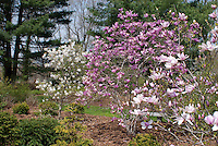 Magnolia 'Pinkie' with M. stellata and a third variety of spring flowering Magnolia tree shrub in garden use landscape