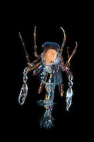 The deep-sea Amphipod (Phronima) was the inspiration for the character in the movie &quot;Alien&quot;.