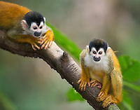 The Central American squirrel monkey is the smallest and most threatened of Costa Rica's four monkey species.