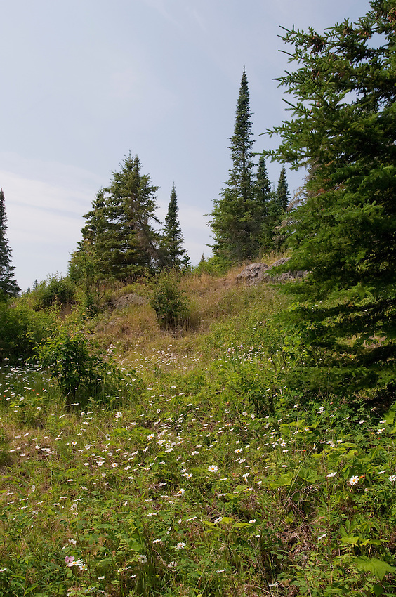 Wildflowers bloom in a meadow on Belle Isle at Isle Royale National Park.