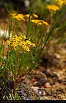 Goldenweed, Queen's Garden Trail, Bryce Canyon National Park, Utah