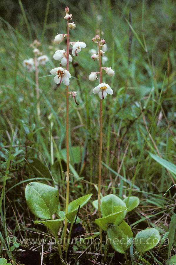 Rundblättriges Wintergrün, Pyrola rotundifolia, Round-leaved Wintergreen, Roundleaved Wintergreen, Round leaved Wintergreen