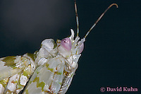 "0307-07mm  Spiny Flower Mantis (#9 Mantis) - Pseudocreobotra wahlbergii ""Female"" - © David Kuhn/Dwight Kuhn Photography"
