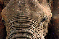 Lone Bull elephant, comes in for a closer look at Kidepo National Park in Uganda.