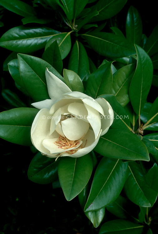 Magnolia grandiflora in flower