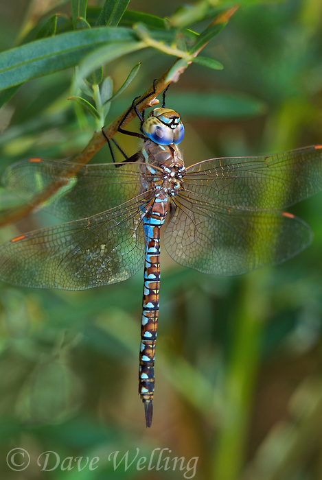 339300004 a wild male california darner rhionaeschna californica perches on a plant stem near a drainage canal north of bishop inyo county california