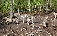Wolf, Namsskogan. Ulveflokk, Namsskogan familiepark.