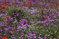 Colorful assortment of spring wildflowers surround Yucca in the Texas Hill Country Pink Phlox indian paint brush