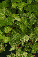 Hedera helix 'Fantasia'