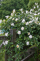 White climbing roses on wooden fence, Rosa
