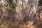 Spruce grouse, Denali National Park, Alaska, USA