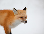 A close-up of a single red fox as it trots by looking for its next meal.