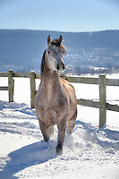 This Arabian mare had been circling the small paddock while enjoying herself ripping up the 20&rdquo; of fresh powder snow. She would make a fast circuit around to quick-stop in the corner for a moment, standing with head at full height giving a loud snort and making big steam clouds from her breath...the horse version of gusto, and thrilling to see! Ready to go around again in a moment, she would begin a slow walking roll-out from the corner right toward me, and that's when this image was taken. <br />