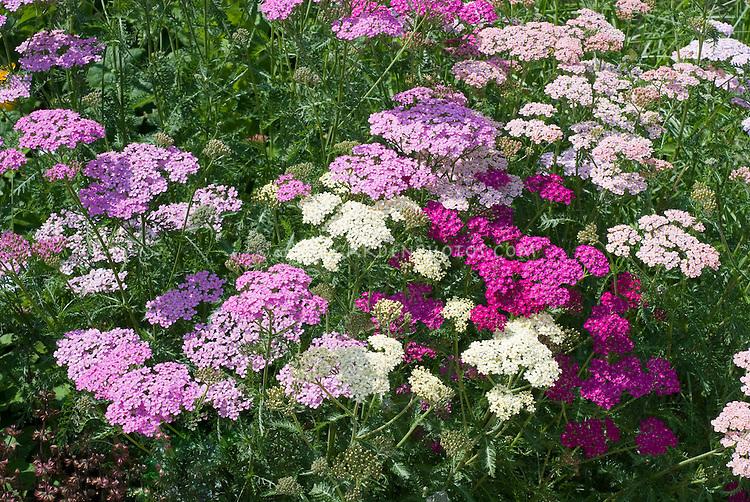 Achillea Summer Berries mixture, yarrow, perennial flowers in pinks, white,, lavender, red