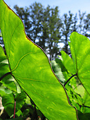 Sunlit mana 'ele'ele (a native Hawaiian variety of kalo or taro) leaves, Big Island.