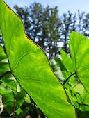 Sunlit mana 'ele'ele (a native Hawaiian variety of kalo or taro) leaves, Big Island.