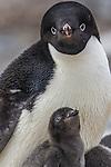 Antarctica , Adelie penguins