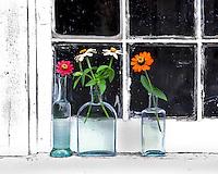 Three zinnias in vases perched on window ledge in Portland, Oregon