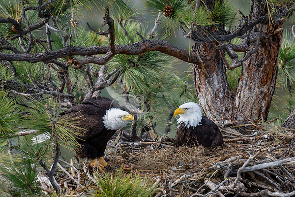 Bald Eagle Nest (Haliaeetus leucocephalus)--adults in nest in tall ponderosa pine tree.  Oregon.  April.