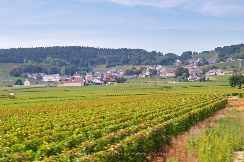 Vineyard. Volnay village. Burgundy, France