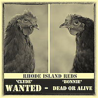 "Highly valued for their meat & eggs, Bonnie & Clyde are at the top of the ""wanted' list :)"