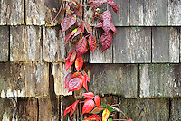 Poisen ivy, Toxicodendron radicans, a poisonous plant growing on the side of a house,