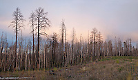 Kaibab National Forest, Arizona, Rt 67, burned trees