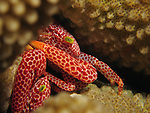 Orchid Island, Taiwan -- Two  trapezia crabs (trapezia wardi) hiding in coral branches.<br /> <br /> The crabs live symbiotically with corals and can almost always be found in the coral's branches.