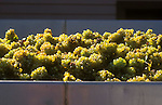 Chardonnay grapes arrive at winery ready for crushing